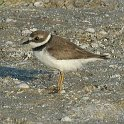 180_Semipalmated Plover